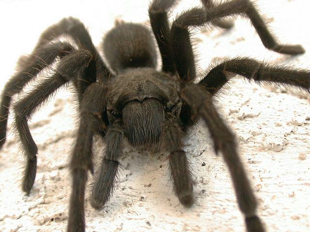 Tarantula(araña Peluda)